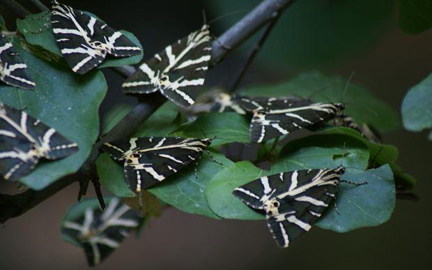 Panaxia Quadripunctaria Kelebekleri